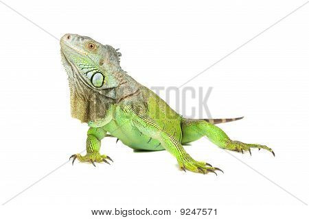 Green iguana, common iguana