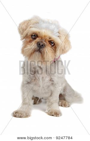 mixed breed dog (shih tzu, pekingese)
