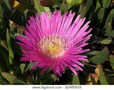 Carpobrotus flower