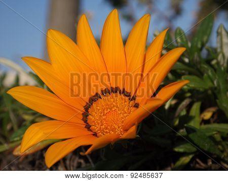 Gazania yellow flowers