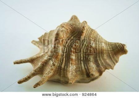 Conch Of Sea Shell