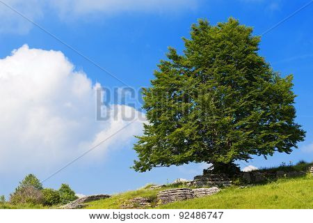 Lonely Beech Tree At Spring - Lessinia Italy