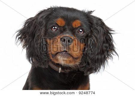 cavalier king charles dog (cav,cavalier,cavie)