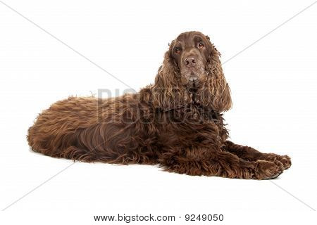 chocolate brown cocker spaniel dog