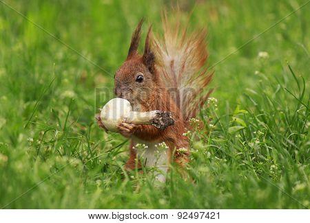 Squirrel Eating Field Mushroom