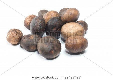 Mushroom - Barometer Earthstars (Astraeus hygrometricus)