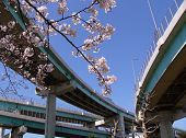 Blossom Cherry Branch In City poster