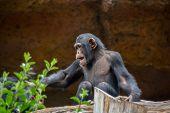 foto of ape  - Wild Black Chimpanzee Mammal Ape Monkey Animal  - JPG