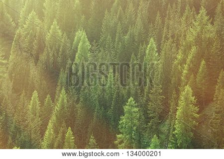 Healthy green trees in a forest of old spruce fir and pine trees in wilderness of a national park lit by bright yellow sunlight. Sustainable industry ecosystem and healthy environment concepts.