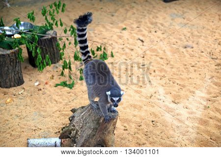 Closeup of a ring-tailed lemur (Lemur catta)