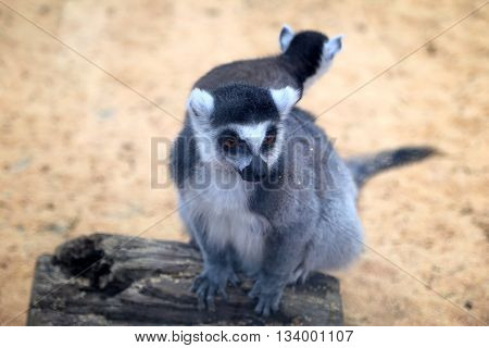 Closeup of a ring-tailed lemur (Lemur catta)
