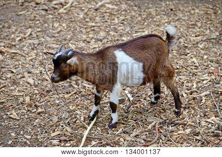 Juvenile brown and white goat (Capra aegagrus hircus)