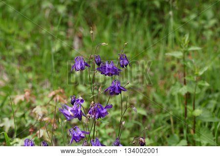 Flowers of European columbine herb (Aquilegia vulgaris).