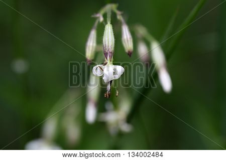 Macro photo of a Nottingham catchfly flower (Silene nutans)
