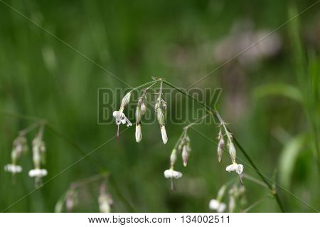 Macro photo of a Nottingham catchfly flower (Silene nutans)