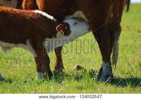 Close up of nursing Hereford calf in green Spring pasture