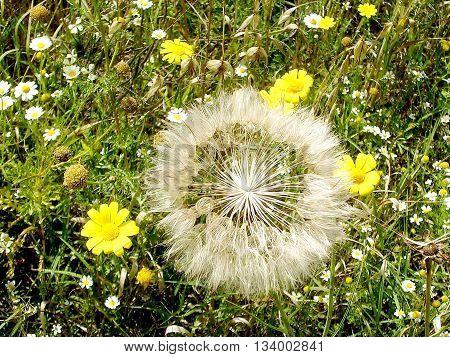 Half Dandelion and wild flowers near Or Yehuda Israel