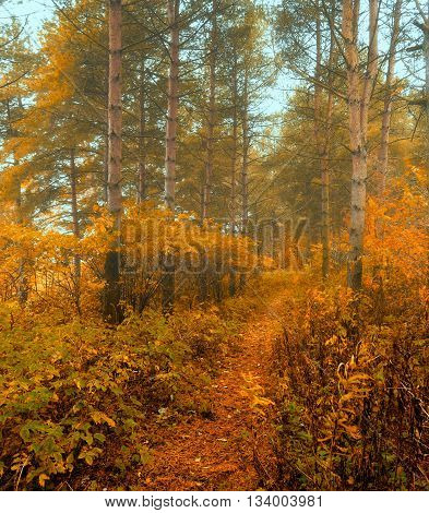 Forest autumn landscape - row of spruce trees with autumn fallen leaves in the forest in dense fog picturesque landscape early autumn view soft filter applied