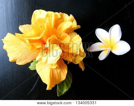 Orange Hibiscus and white Frangipani flowers on a black background in Or Yehuda Israel