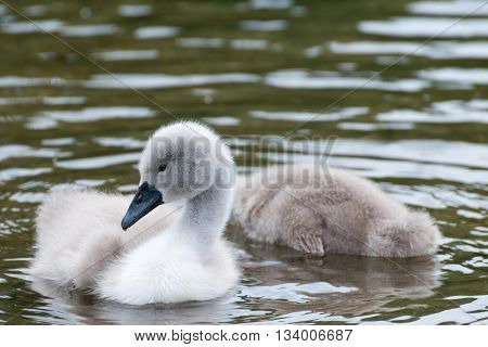 White Swan Hatchling.