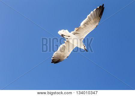 big seagulls flying in blue clear sky