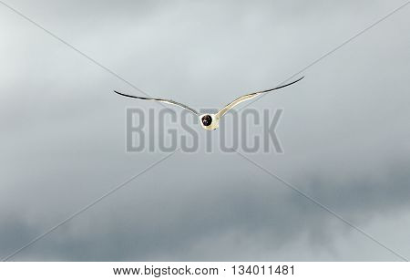 Seagull Flies Under Dark Rain Clouds