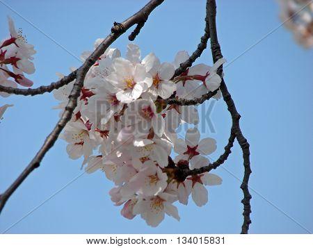 Pinkish sakura flower fully blossoming at early spring