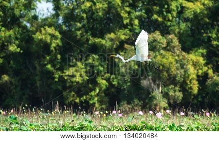 White stork bird flying across field with wings and lotus long legs egret flying to nest after a day of feeding where peaceful countryside in Vietnam