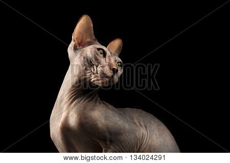 Closeup Sphynx Cat with Yellow eyes Looking back Isolated on Black Background