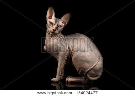 Adorable Sphynx Cat Sitting Curious Looks Isolated on Black Background