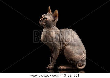 Gorgeous Sphynx Cat Sitting Curious Looks Isolated on Black Background, side view
