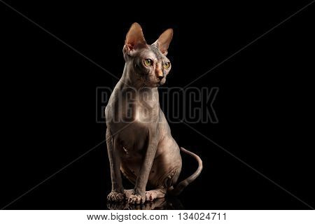 Gorgeous Sphynx Cat Sitting Curious Looks Isolated on Black Background, Front view