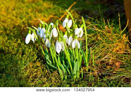 snowdrops in the grass in spring time with sun