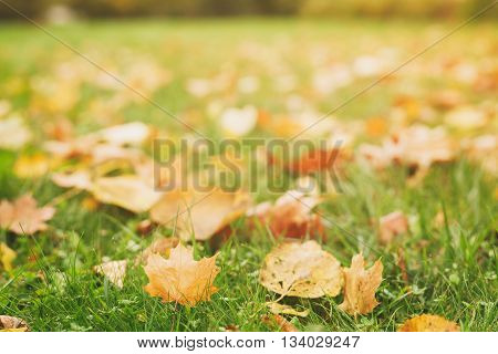 fallen autumn leaves on the ground, fall season, slightly toned photo