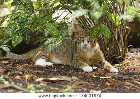 A striped cat with big eyes staring at the camera while resting under the flower plant in outdoor setting.