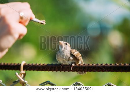 Feeding of young chick, Bird House Sparrow Yellow-Beaked Passer Domesticus