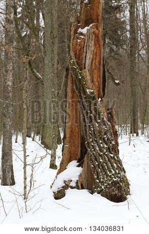 Broken old oak stump in winter stand of Bialowieza Forest, Poland, Europe