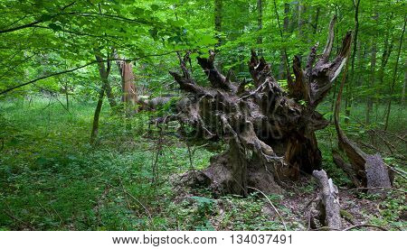 Old broken spruce tree roots in summer deciduous stand partly declined, Bialowieza Forest, Poland, Europe