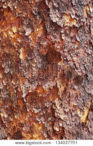Corymbia terminalis also known as the desert bloodwood is a tree native to Australia