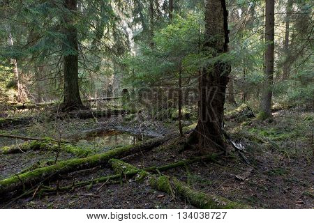 Natural coniferous stand of Bialowieza Forest Landscape Reserve in morning with sunlight entering coniferous standBialowieza ForestPolandEurope