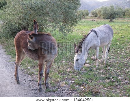 gray and brown donkeys grazing in olive grove in Andalusia