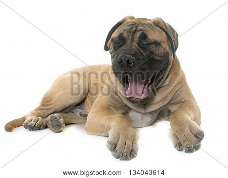 yawning young bull mastiff in front of white background