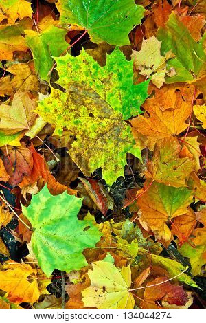 Background Group Autumn  Leaves In Indian Summer