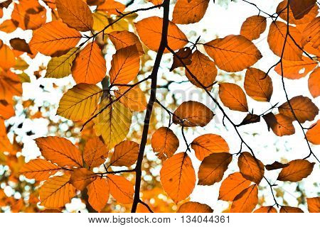 Background Group Autumn Orange Leaves. Outdoor