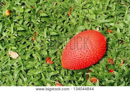fresh momordica cochinchinensis on green grass at farm