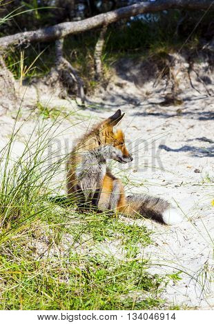 Fox In The Dunes At The Beach