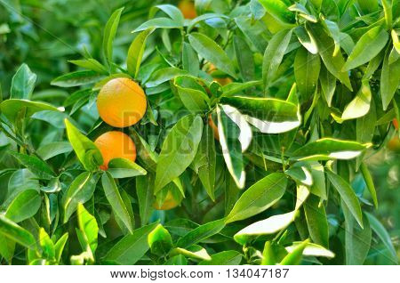 Two ripe oranges hanging on a tree.