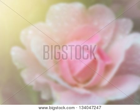 sweet dreamy and de-focused blooming of pink rose