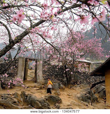 HA GIANG, VIETNAM, February 18, 2016 en baby, ethnic Hmong, Ha Giang mountainous areas, promenade gardens, called peach flowers, spring