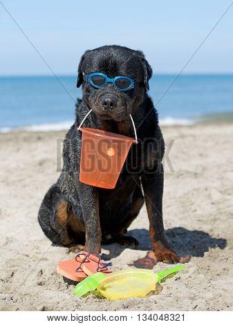 rottweiler holding a bucket on the beach